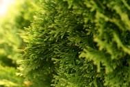 Szybko rosnące drzewa iglaste są idealne dla tych, którzy w szybkim tempie chcieliby stworzyć w swoim ogrodzie namiastkę leśnego zacisza.
