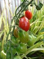 Pomidory Fot. Fotolia